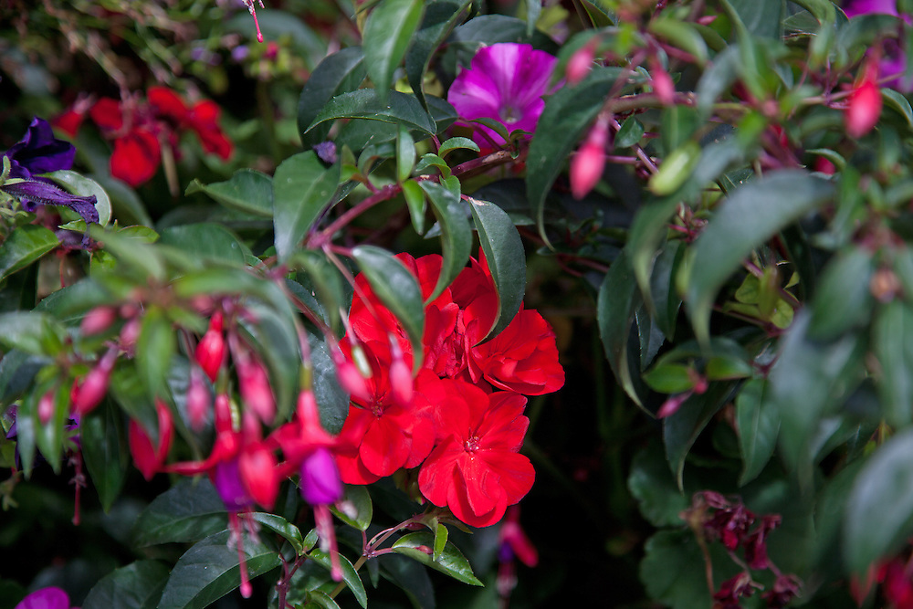 Deep red impatiens peeks out from behind fuschia blossoms, part of the colorful display of flowers that brighten Breckenridge, Colorado, during the summer months.