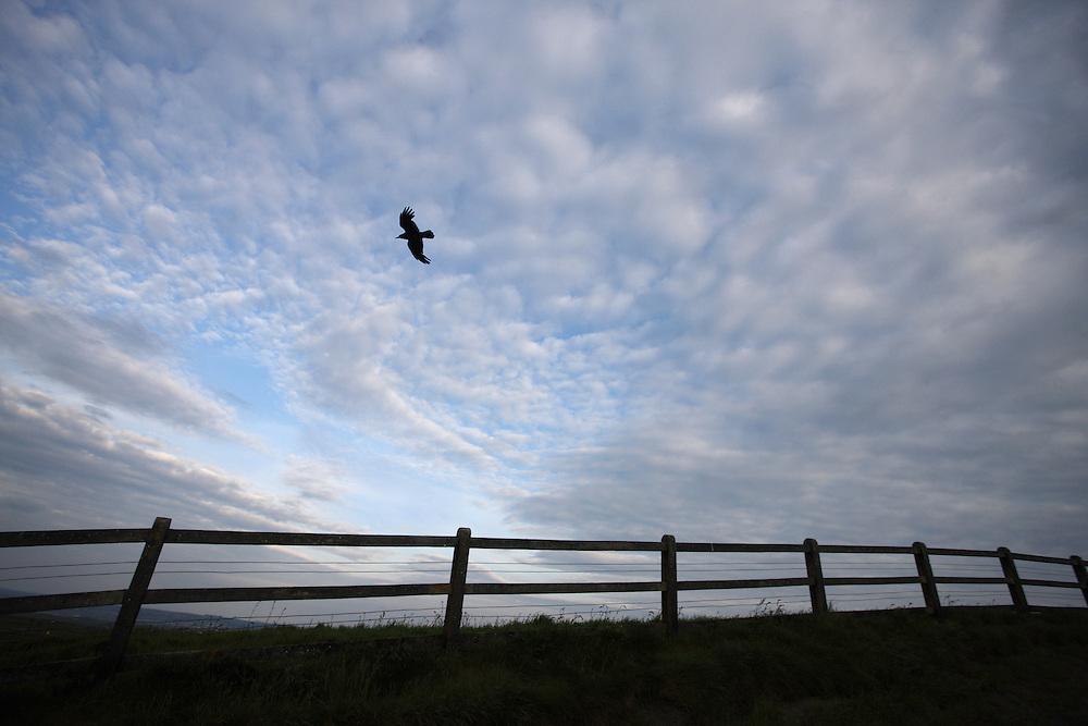 Raven (Corvus corax) Ireland western coast Burren region Cliffs of Moher