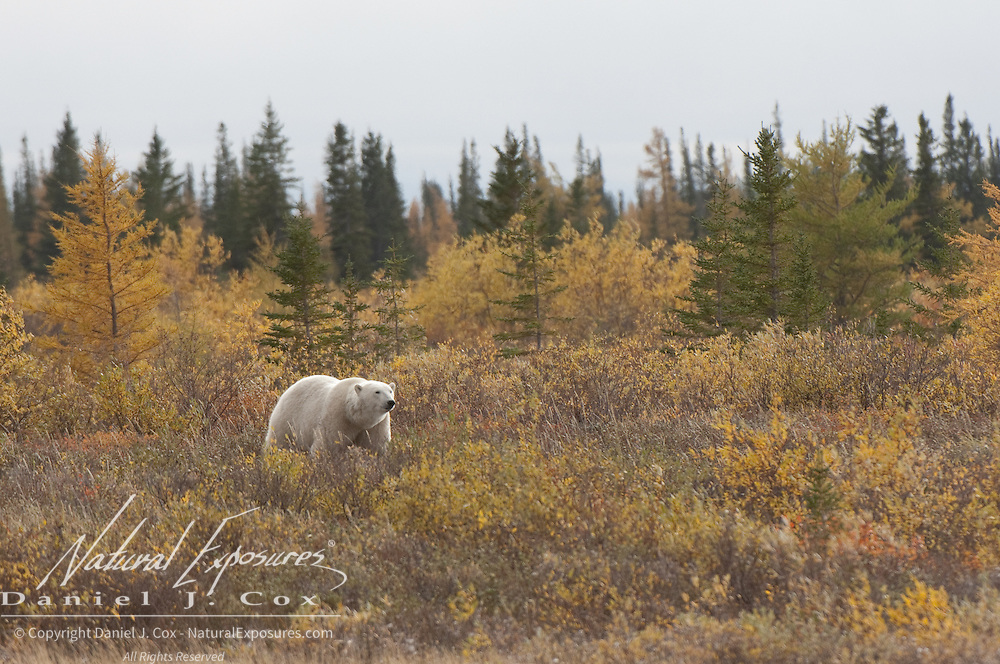 Polar Bear (Ursus maritimus) surrounded by fall colors.  Western Hudson Bay population, Manitoba, Canada