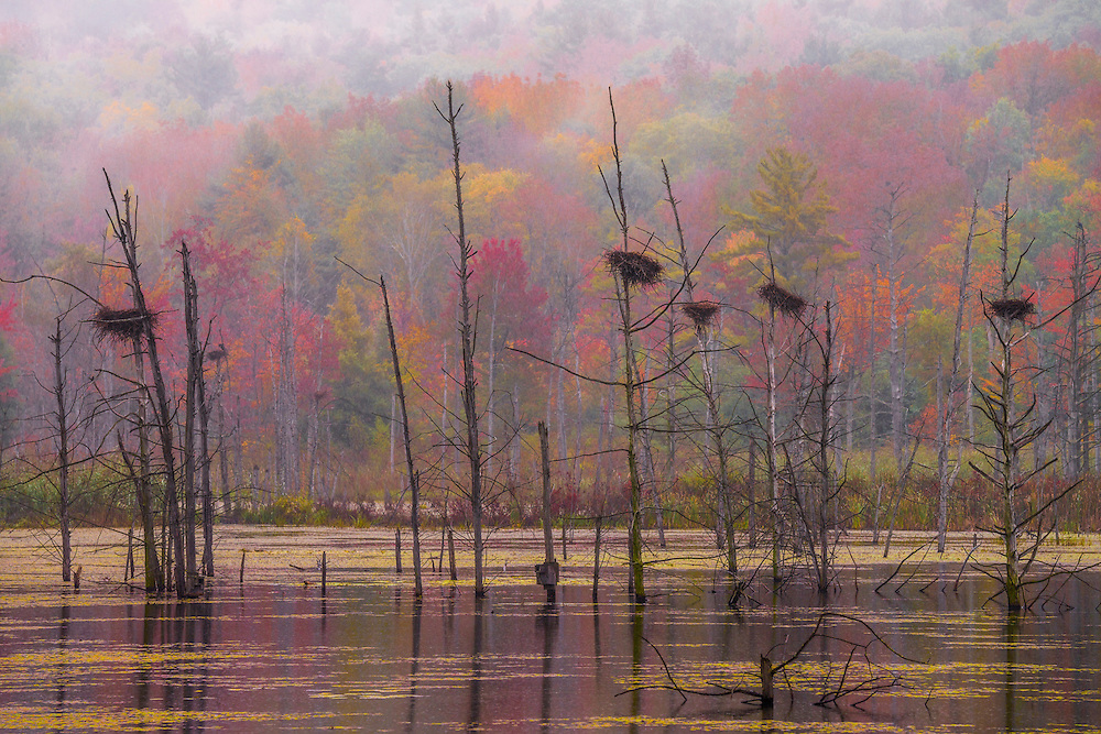 Great Blue Heron's nests perched in skeleton tree trunks in beaver pond, with misty fall color background, Richmond, MA