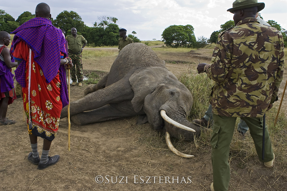 African Elephant<br /> Loxodonta africana<br /> Local Masai people and park rangers looking at dead elephant killed by spear<br /> Masai Mara Conservancy, Kenya