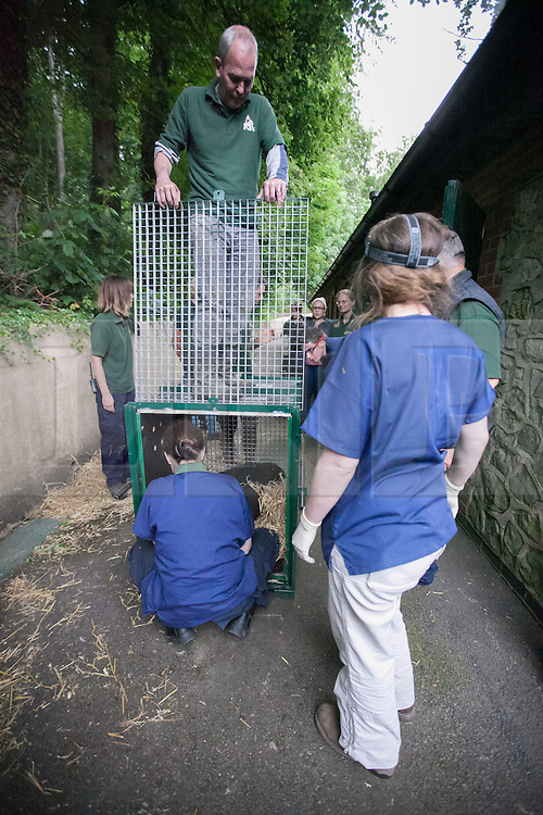 © London News Pictures. 23/06/2013. Hythe, Kent, UK.(EMBARGO UNTIL 24/06/13). The sedated female lowland gorilla Mwambe is carefuly monitored as she is placed in her transportation crate. A critically endangered western lowland gorilla family from Port Lympne Wild Animal Park are bound for Gabon in Africa as part of The Aspinal Foundation's Back to the Wild campaign. Djala, a 30 year old silverback, four mothers and four offspring embark on a unique 6,000 mile journey back to the wild courtesy of its partners DHL. Picture credit Manu Palomeque/LNP