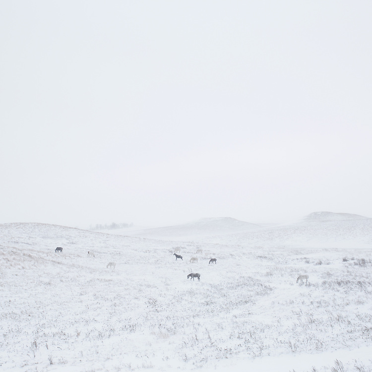 CANNON BALL, NORTH DAKOTA - DECEMBER 5, 2016: Horses on the Standing Rock Indian Reservation.