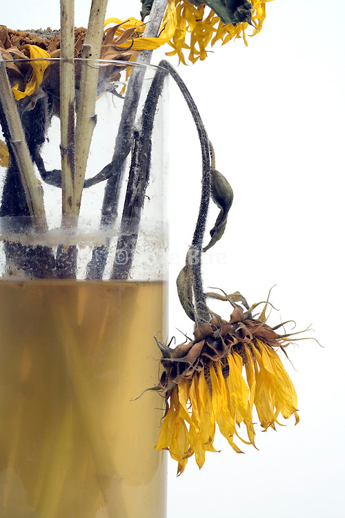 close up of dying sunflower head in a vase with dirty water