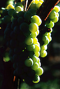 Wine Grapes on the Vine at Stony Mesa Winery in Cedaredge, Colorado.