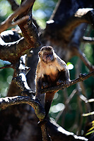 Brazilian Macaque monkey in trees of the  rain forest
