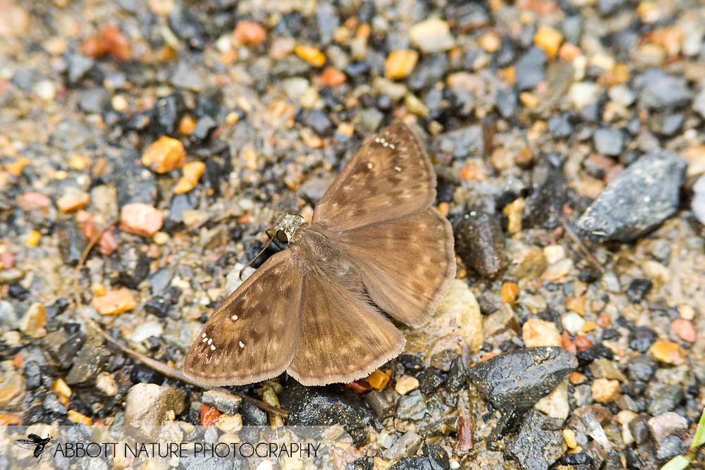 Horace's Duskywing (Erynnis horatius) - female<br /> OKLAHOMA: McCurtain Co.<br /> Ouachita National Forest; FR 51000<br /> 20-June-2015<br /> <br /> J.C. Abbott #2746 &amp; K.K. Abbott