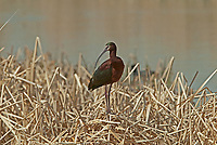 The White Faced Ibis overlooks a pond they like to feed in fresh water marshes for insects and minnows.