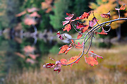 A branch of Red Maple leaves (Acer rubrum) in front of a marshy section of Eagle Lake, Acadia National Park, Maine.