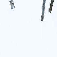 Tree trunks in winter, Hopkins Memorial Forest, Williamstown, Berkshires, Massachusetts