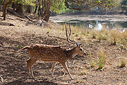 Spotted deer male stag, Axis axis, (Chital) with antlers by Rajbagh Lake in Ranthambhore National Park, Rajasthan, India