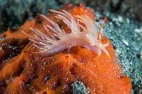 Flabellina Nudibranch on an orange sponge.<br /> <br /> Shot in Indonesia