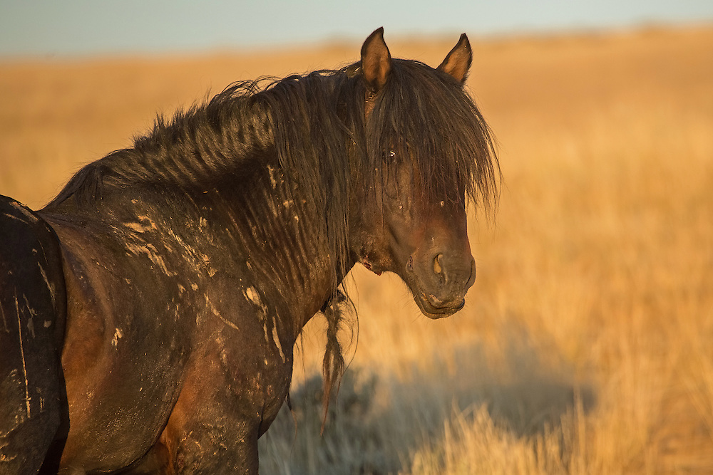 Wearing scars from many battles, the band stallion, Signal, has done his share of fighting to keep his mares by his side. Stallions are often seriously injured, sometimes even killed, as they battle rivals to protect their family band.