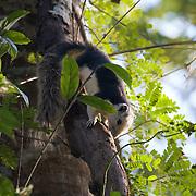 The Variable Squirrel (Callosciurus finlaysoni) or Finlayson's squirrel is native to Burma, Thailand, Laos, Cambodia and South Vietnam.