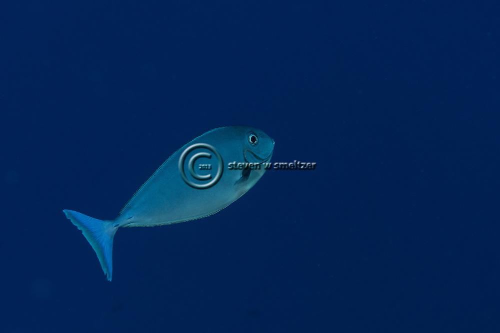 Gray Unicornfish, Naso caesius, J. E. Randall & Bell, 1992, Maui Hawaii