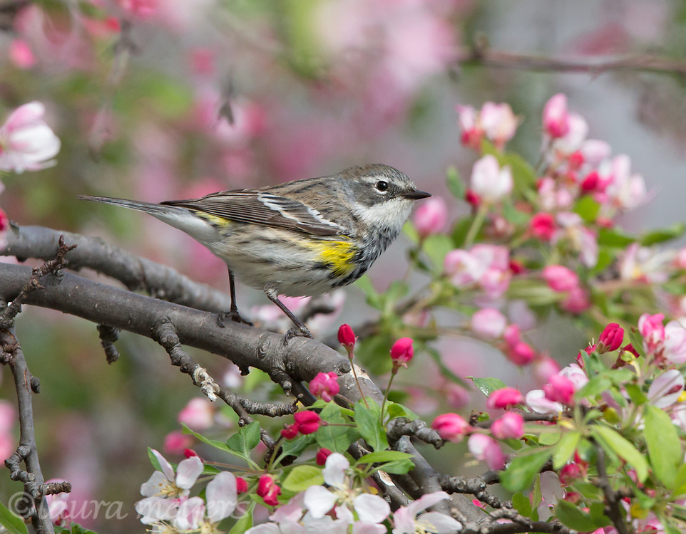 Yellow-rumped Warbler among flowers at Green-wood Cemetery