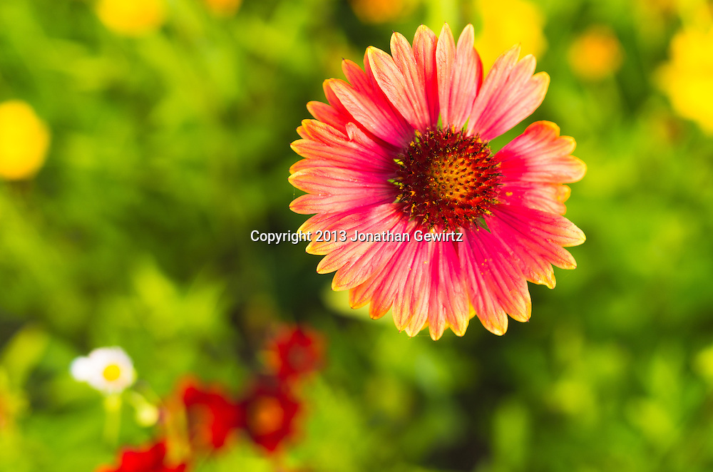 Colorful Zinnia (Asteraceae) flowers in a garden. WATERMARKS WILL NOT APPEAR ON PRINTS OR LICENSED IMAGES.