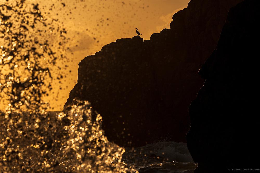 Great Cormorant on a rock. Sintra, Portugal