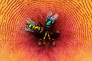 macro photography: flies caught in cactus flower creating psychedelic effect