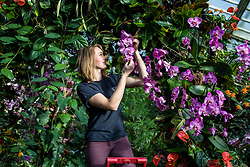© Licensed to London News Pictures. 07/02/2019. London, UK. Glasshouse Botanical Horticulturalist Hannah Button tends to orchids at the 24th annual Kew Orchid Festival, which this year focusses on the colour and biodiversity of Colombia. Photo credit: Rob Pinney/LNP