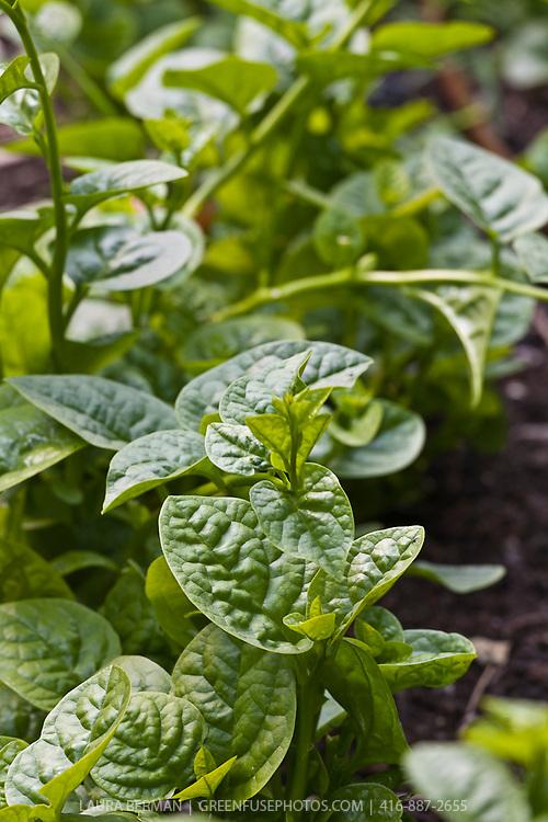 Malabar spinach (Basella alba, syn. Basella cordifolia)