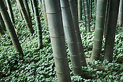 lush undergrowth at a bamboo forest