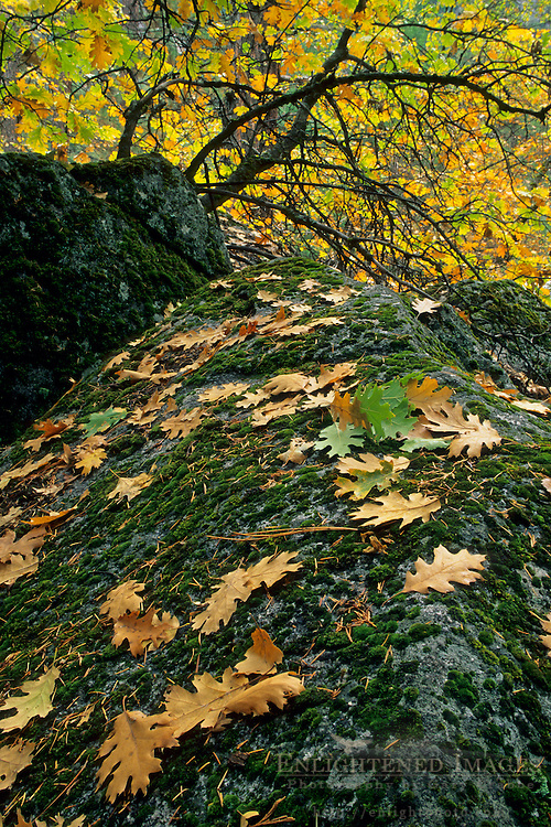 Oak leaves on moss covered rock in fall, Yosemite Valley forest floor, Yosemite National Park, CALIFORNIA