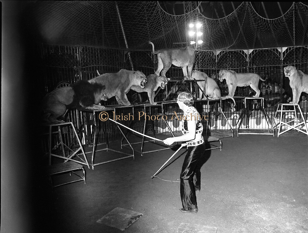 08.09.1984<br /> 09.08.1984.<br /> 8th September 1984<br /> Chipperfield's circus performed before packed houses in Mullingar, Co Westmeath.<br /> <br /> Picture of Mr Richard Chipperfield, cracking the whip,as he leads his pride of lions through the routine. Two of the lionesses growl at Mr Chipperfield.