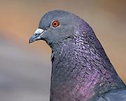 Pigeons make for good head shots!