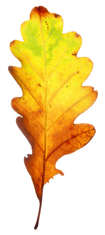 Oak leaf in the field studio, Torridon, Scotland