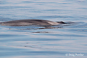 fin whale, Balaenoptera physalus, at surface, showing pattern of blaze and chevron ( uniquely individual light color streaks) on forward right dorsal side, used for photo identification; these beautiful patterned swirls usually occur only on the right side - a rare case of asymmetrical coloration in nature; Ligurian Sea, Mediterranean Sea, Italy