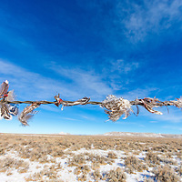Remaining of fresh sage-grouse feathers found on a long barbwire fence on BLM in Sublette County in Wyoming.
