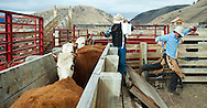 PRICE CHAMBERS / NEWS&amp;GUIDE<br /> Cody and Chase Lockhart work to vacinate each calf as they line up in the chute on weening day.