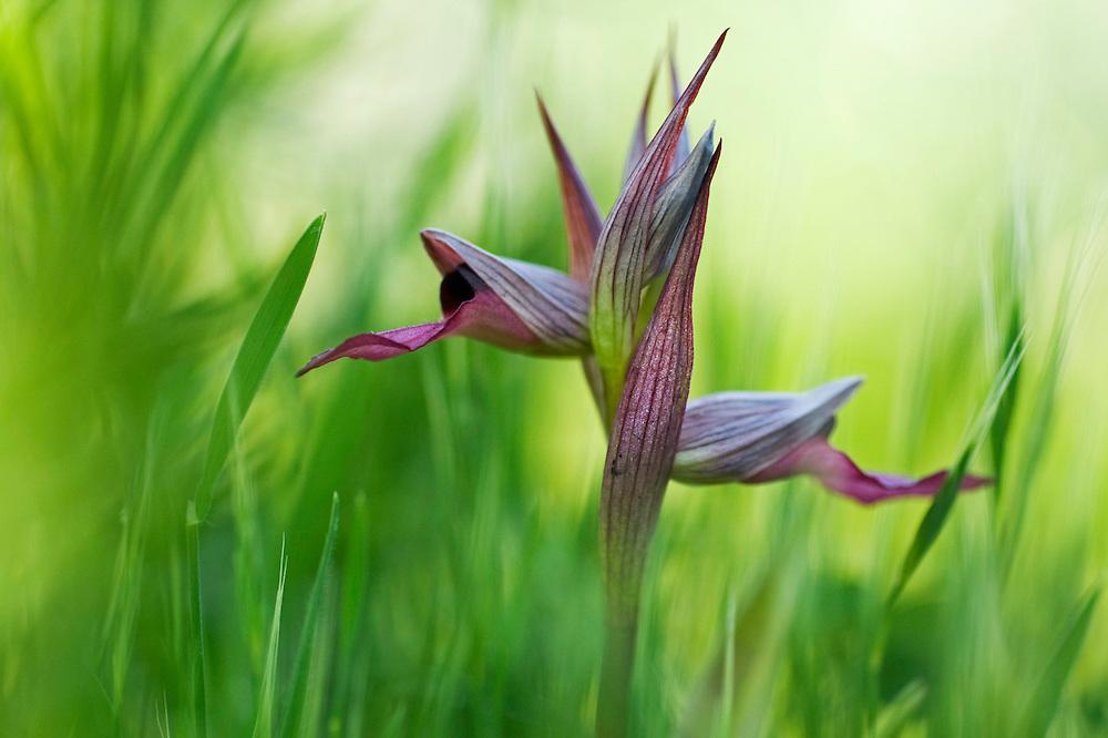 Apulia; Gargano Peninsula; Italy; Tongue Orchid; Serapias lingua