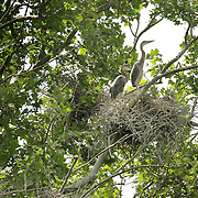 Juvenile great blue herons sat in their nest in a sycamore tree at a nesting site, also known as a rookery, along the Kentucky river palisades near Shaker Village at Pleasant Hill, Ky., on Friday, May 13, 2011. Shaker Village is offering two wildlife cruises to the blue heron rookery aboard their Dixie Belle paddleboat this spring.
