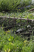 Traditionally cut and laid hedge with wild flowers, Southern England.