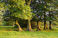 Trunks of beech and sycamore trees.