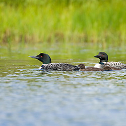 A pair of common loons, Gavia immer, with two chicks A  on East Inlet in Pittsburg, New Hampshire.  A pond upstream from Second Connecticut Lake.