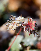 Frost crystals outline the leaves of a hardy geranium (Geranium sanguineum), Bar Harbor, Maine.