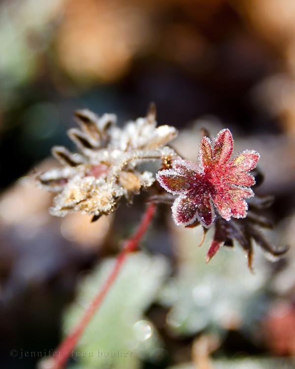 Frost crystals outline the leaves of a hardy geranium (Geranium sanguineum), Bar Harbor, Maine.