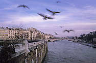 France. Paris. 4th district. Gulls Flying over the Seine  The Seine river