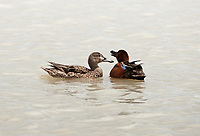 A pair of Cinnamon Teal in the middle of nesting behavior bobbing each others head this is a pairing dance.