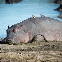 Sleeping hipopotamus with Ox-pecker birds on back