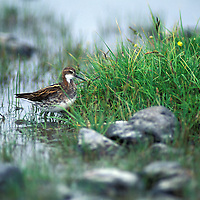 Red-necked phalarope (Phalaropus lobatus) UK