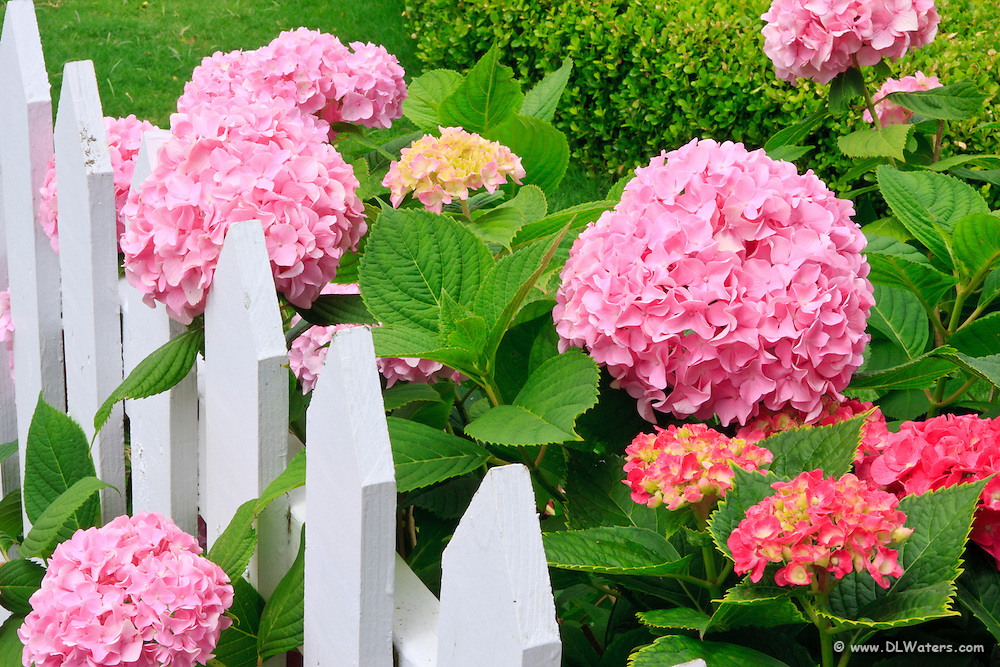 Pink hydrangea flowers  and picket fence in Manteo North Carolina.