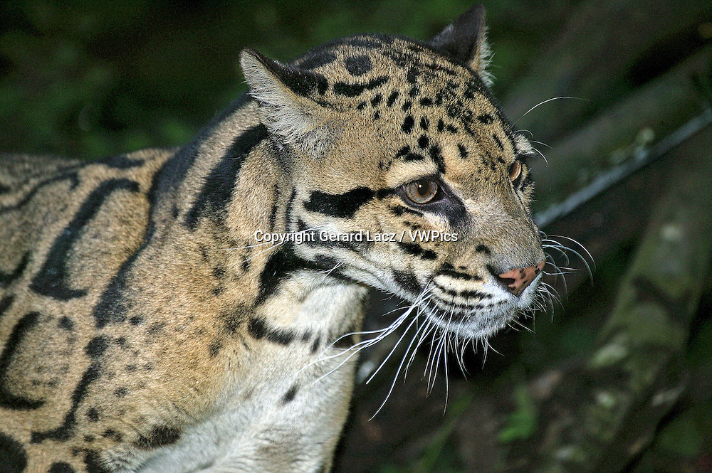 CLOUDED LEOPARD neofelis nebulosa, PORTRAIT OF ADULT