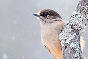 Siberian Jay, Perisoreus infaustus, Kaamanen, Finland