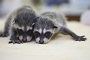 Raccoon <br /> Procyon lotor<br /> Four-week-old orphaned babies at wildlife rehabilitation center<br /> WildCare, San Rafael, CA