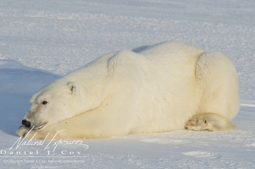 Polar Bear, Cape Churchill, Hudson Bay, Manitoba.