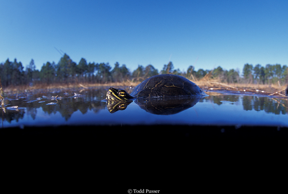 Chicken turtle (Deirochelys reticularia). 17 Frog Pond, Sandhills Gamelands, Scotland County, North Carolina.